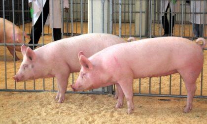 Covid-19, la Cina non vuole più i maiali italiani (e per la pianura è un grosso problema)