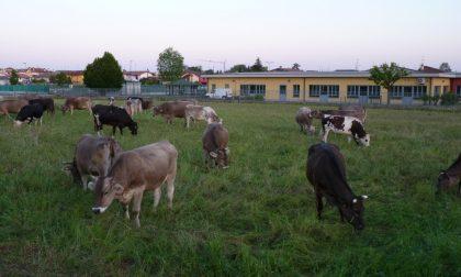 A Cavernago l'erba la tagliano le mucche (e il Comune risparmia)