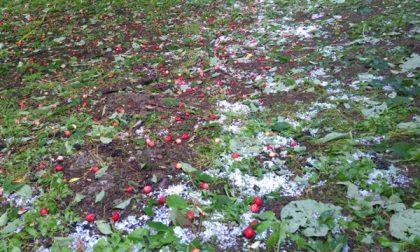 Grandinata in Bergamasca, frutta distrutta e vigneti rovinati FOTO