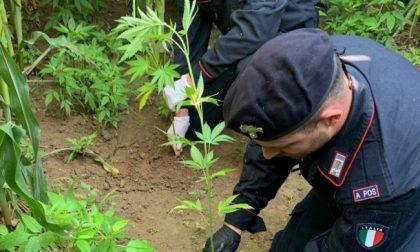 In un terreno agricolo scoperte dai carabinieri 40 piante di marijuana