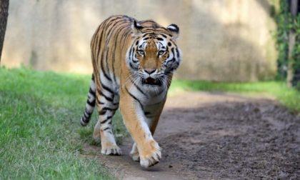 """Due tigri dell'Amur e uno gnu: nuovi arrivi alle """"Cornelle"""""""