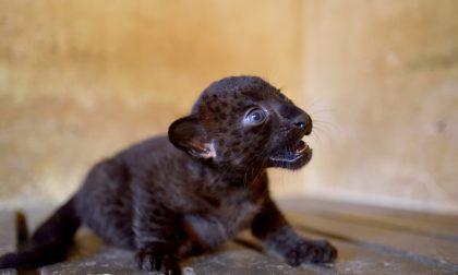 Fiocco rosa alle Cornelle: cucciola di pantera nera cerca un nome GALLERY