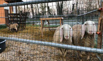 Furto alla Cooperativa Agricola di Castel Cerreto, sparite due pecore