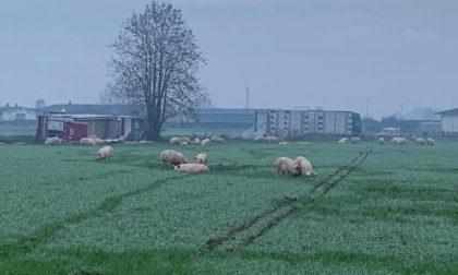 Camion carico di maiali si ribalta in un campo