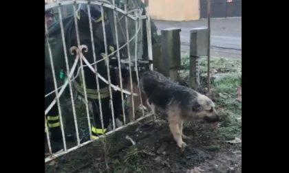 Cane incastrato nel cancello: ecco l'intervento dei pompieri che lo liberano VIDEO FOTO