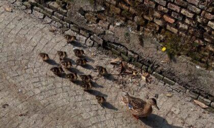 Il video del salvataggio degli anatroccoli di via Cavallotti (dai pericolosi trevigliesi)