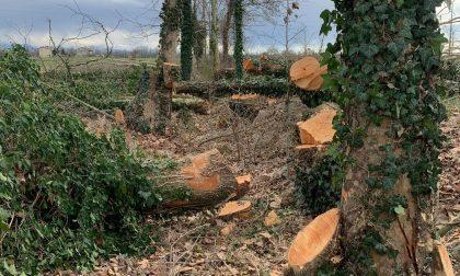 Un altro filare devastato a Masano