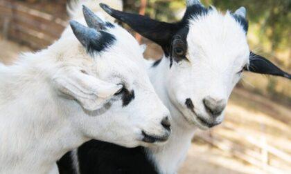 Violenza assurda a Spirano: rubano una pecora e bastonano a morte due capre