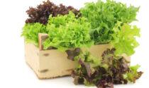 Il Giornale di Treviglio vi regala i semi di lattuga
