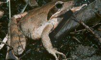 Servono 30mila euro per salvare le rane (e aiutare i pipistrelli) di Caravaggio