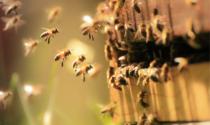 Giornata mondiale delle api: nella Bergamasca alveari in difficoltà per il clima pazzo