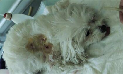 Rottweiler azzanna e uccide maltese toy