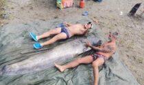Pesca grossa sull'Adda, due maxi siluri lunghi oltre due metri
