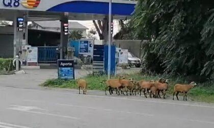 Pecore del Camerun in fuga a Zingonia