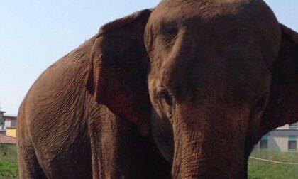 La Lav chiede giustizia per Andra, l'elefantessa  (malata e sola) del circo di Azzano