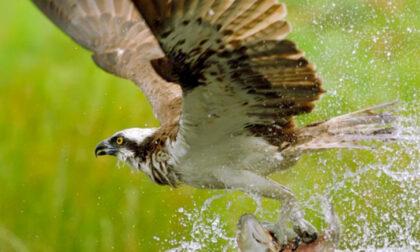 Falco pescatore impallinato dai bracconieri, arrivava dalla Finlandia